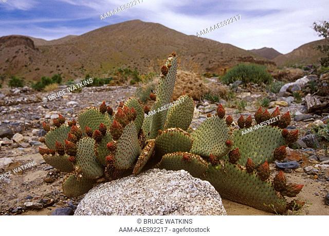 Beavertail Cactus blooming (Opuntia basilaris), Wildrose, Death Valley,  California