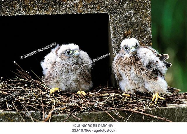 krestel , common krestel / Falco tinnunculus