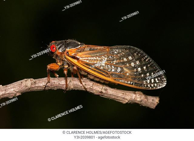 An adult 17-year periodical cicada (Magicicada septendecim) clings to a twig after emerging from its 17 year underground nymphal stage