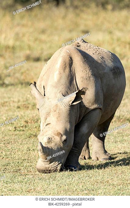 White rhinoceros or square-lipped rhinoceros (Ceratotherium simum), feeding, Lake Nakuru National Park, Kenya
