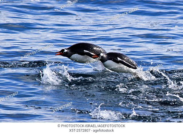 Gentoo penguins (Pygoscelis papua). swimming in the ocean. Gentoo penguins grow to lengths of 70 centimetres and live in large colonies on Antarctic islands