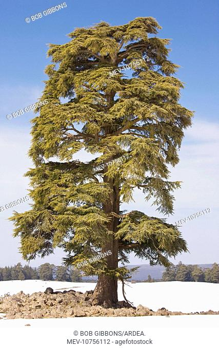 Atlas Cedar Tree - in winter in the Middle Atlas Mountains (Cedrus atlantica)