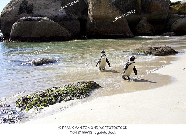 African Penguin on Boulders Beach, Cape Town, South Africa