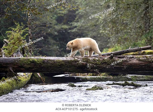 Spirit bear (Ursus americanus kermodei), male, along salmon (Oncorhynchus sp.) creek, Great Bear Rainforest, British Columbia, Canada