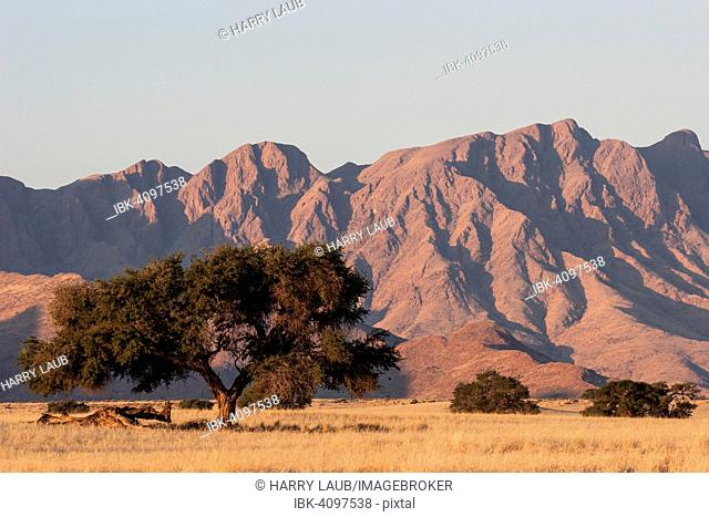 Grassy steppe with Camel Thorn trees (Vachellia erioloba), near Sesriem Camp, evening light, Naukluft Mountains at the back, Sesriem, Namibia
