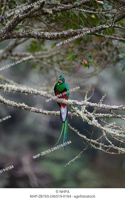 Resplendent Quetzal (Pharomachrus mocinno). Male. Swallowing a wild avocado fruit. Montane cloud forest. Costa Rica. Near Threatened