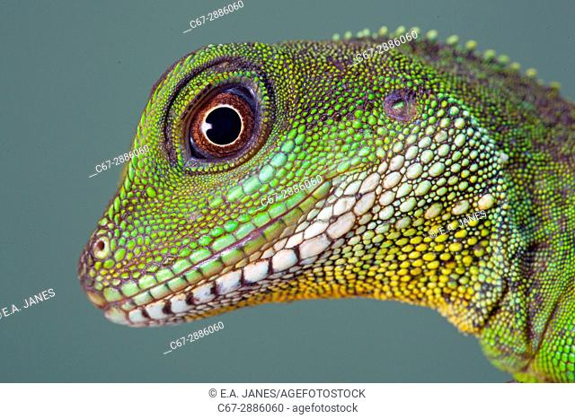 Chinese water Dragon Physignathus cocincinus portrait