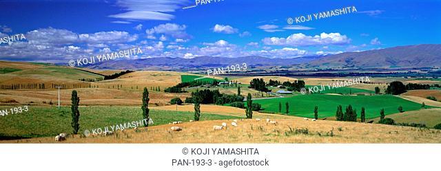 A Scene on a Sheep Station, near Fairlie, New Zealand