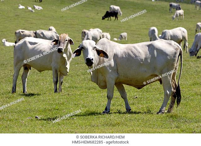 France, Martinique French West Indies, Sainte Anne, zebus in a pasture