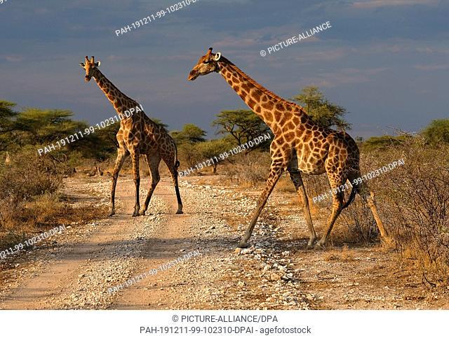 28 November 2019, Namibia, Etosha-Nationalpark: Giraffes cross a path in Etosha National Park. Photo: Oliver Berg/dpa. - Etosha-Nationalpark/Namibia