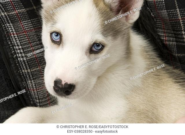 A very cute young Husky dog puppy with piercing blue eyes looks at the camera