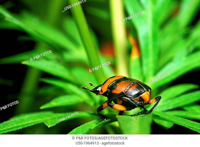 Scarab beetle, dung beetle. Scarabeidae, Coleoptera