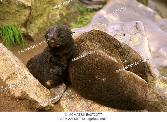 N. Fur Seal with Pup (Callorhinus ursinus), St Paul Isl., Pribilofs, Alaska