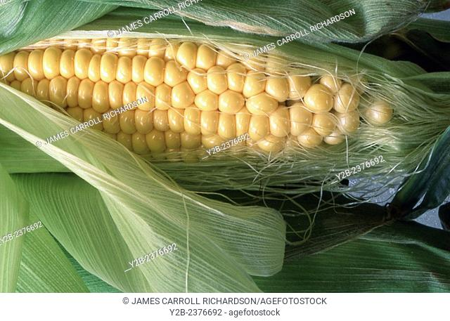 Yellow corn, a farmer's staple in central and southern usa