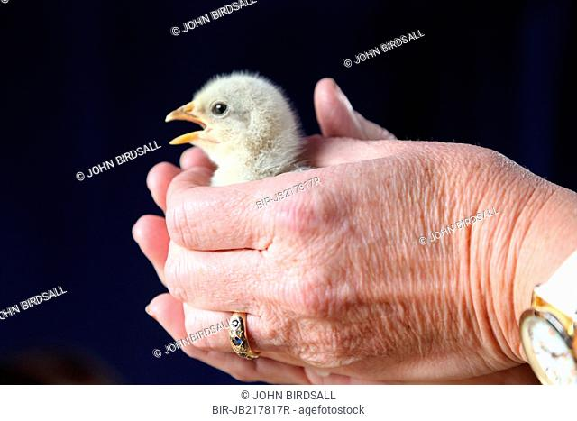 Chick being held