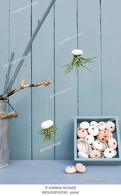 Tillandsias, air plants in sea urchin shells as bathroom decoration