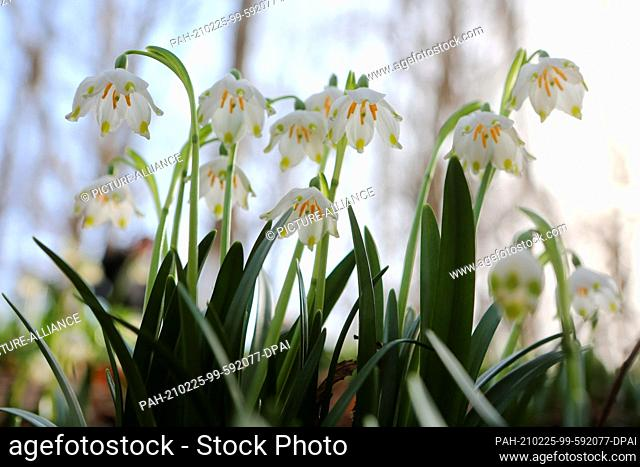 25 February 2021, Saxony-Anhalt, Ballenstedt: Spring-like temperatures make the plants sprout from the ground. Marzenbecher (Leucojum vernum) bloom in the...