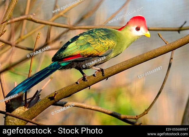 Portrait of a red crested turaco (tauraco erythrolophus) perching on a branch