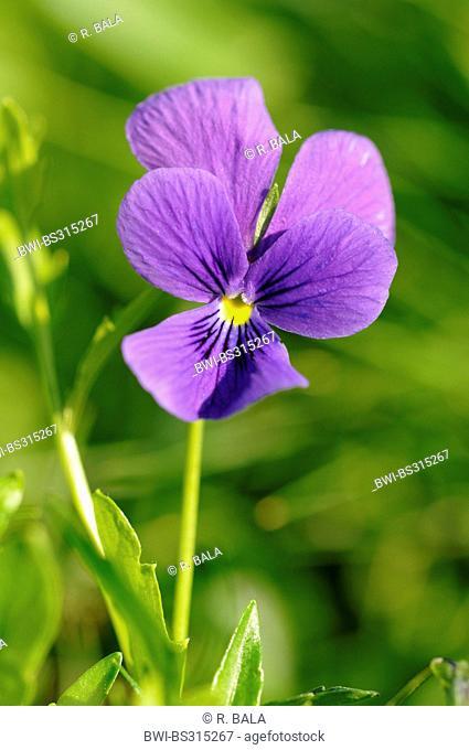 Viola guestphalica (Viola guestphalica), flower, Germany, North Rhine-Westphalia
