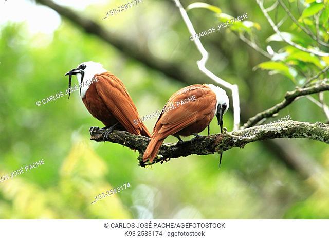 Campanero Tricarunculado ó Pájaro Campana ( Procnias tricarunculatus) fotografiado en la reserva Biológica de Monteverde, Costa Rica
