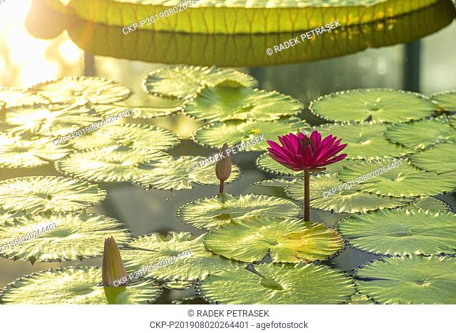 A blossom of Water Lily Nymphaea Antares in the Botanic Gardens in Liberec on Friday, August 2, 2019. The plant is the largest species of water lilies