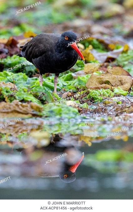 Black oystercatcher foraging in Burnaby Narrows, Gwaii Haanas National Park Reserve, Queen Charlotte Islands, BC, Canada