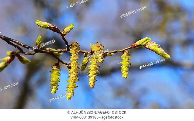 Hornbeam twig (Carpinus)