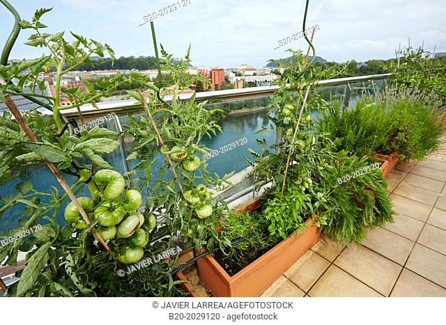 Urban garden. Tomato and pepper plants. Terrace housing. Donostia. San Sebastian. Basque Country. Spain