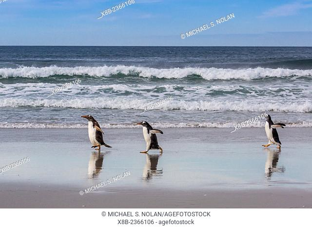 Adult gentoo penguins, Pygoscelis papua, on the beach at Saunders Island, West Falkland Islands, UK Overseas Protectorate