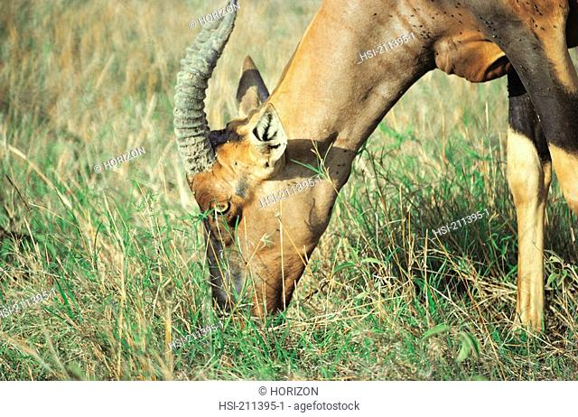 Side view of an antelope grazing, Kenya, Africa