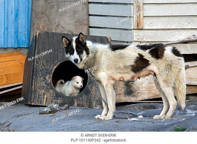 Greenland dog Canis lupus familiaris, sledge dog, Ilulissat, West-Greenland, Greenland