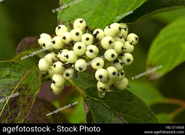 Red osier dogwood (Cornus sericea) berries, Willamette Mission State Park, Oregon