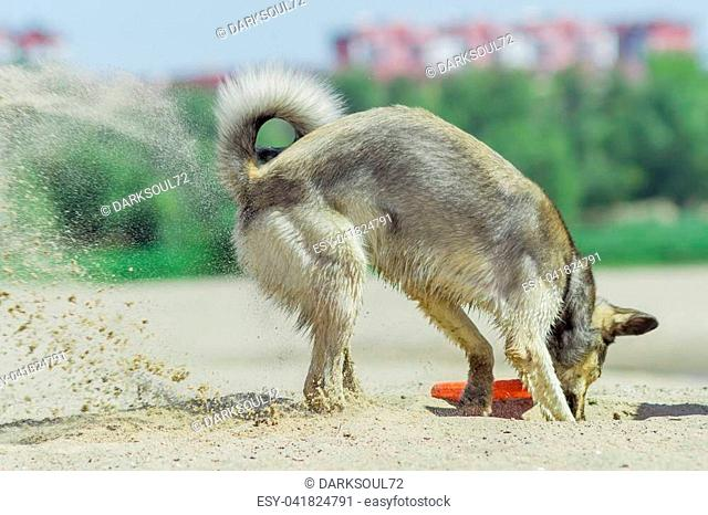 dog digging sand on the beach on a summer day