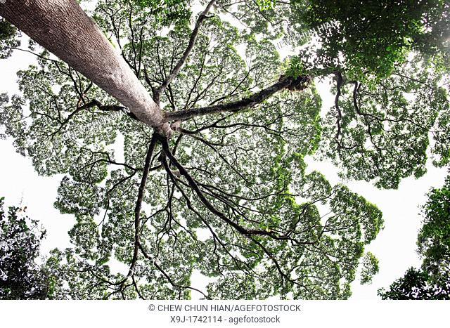 Sunlight through tree canopy, borneo
