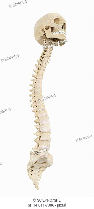 Human spine, computer illustration