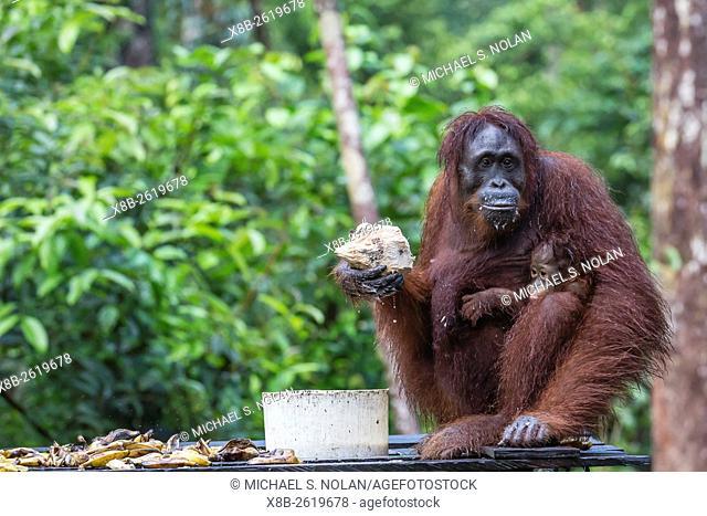 Reintroduced mother and infant orangutan, Pongo pygmaeus, Camp Leakey, Tanjung Puting National Park, Borneo, Indonesia