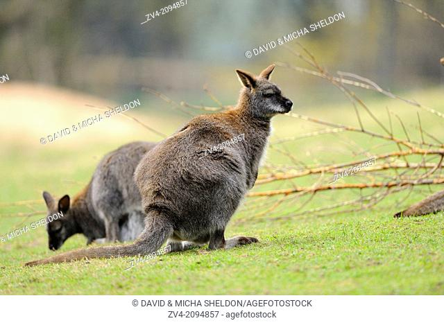 Close-up of two tammar wallaby (Macropus eugenii) on a meadow in autumn