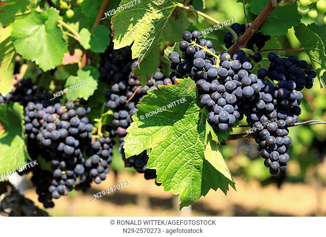 Edenkoben, red grapes, vineyards, Southern Wine Route, Rhineland-Palatinate, Germany