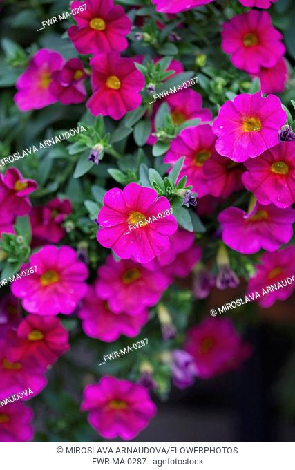 Petunia, Mass of pink coloured flowers growing outdoor