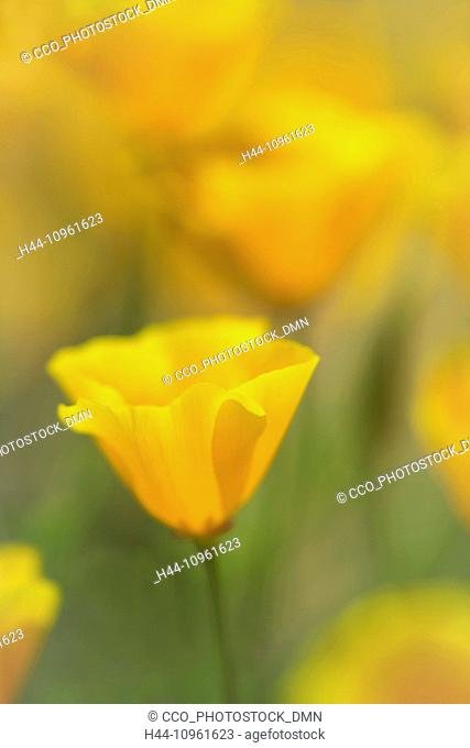 Poppy, Eschscholzia californica, summer, summertime, Columbia River Gorge, Mosier, Oregon, OR, USA, America, United States, National Scenic Area, flowers