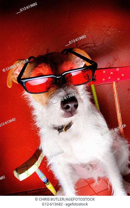Jack Russell Terrier wearing sunglasses while sitting in rocking chair against red wall