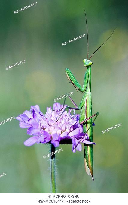 Praying Mantis Mantis religiosa on a Field Scabious Knautia arvensis