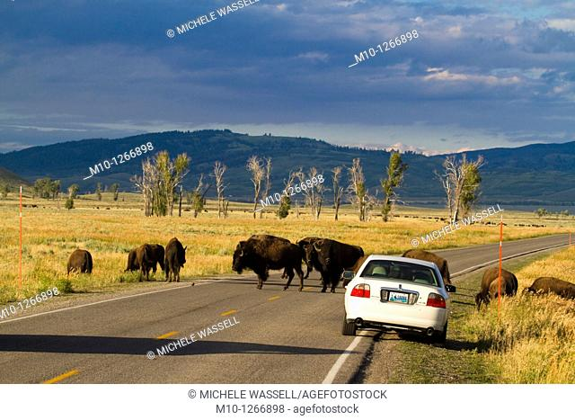 Buffalos crossing and standing in the road