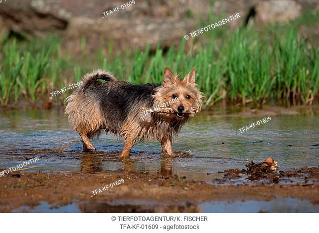 playing Australian Terrier