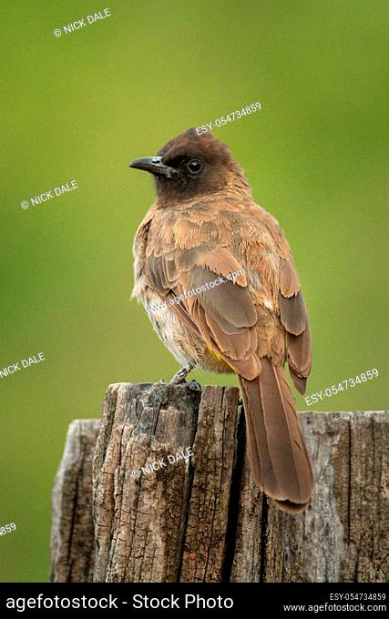 Yellow-vented bulbul on wooden post turning head