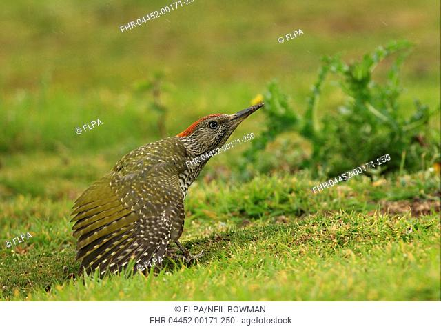 Green Woodpecker Picus viridis juvenile, stretching wing, standing on grassy field in rain, Norfolk, England, august