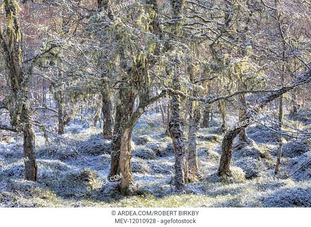 Dusting of snow at the ancient Caledonian woodland - Glen Affric, Scotland