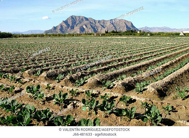 Fields in Segura river valley. Benejúzar. Alicante province, Spain