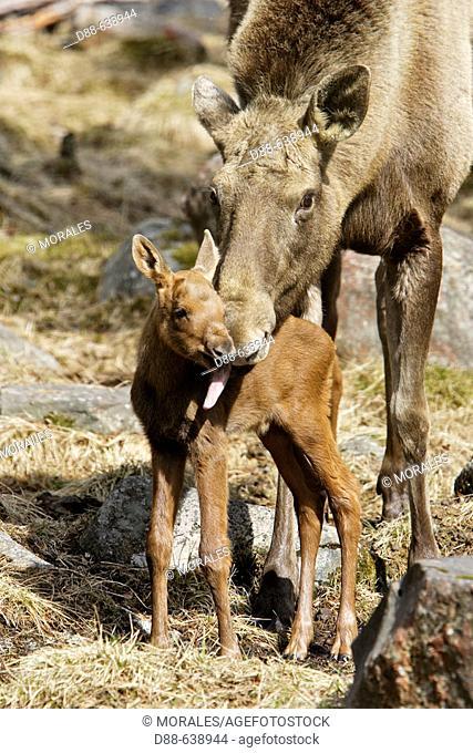 Eurasian Elk (Alces alces). Finland