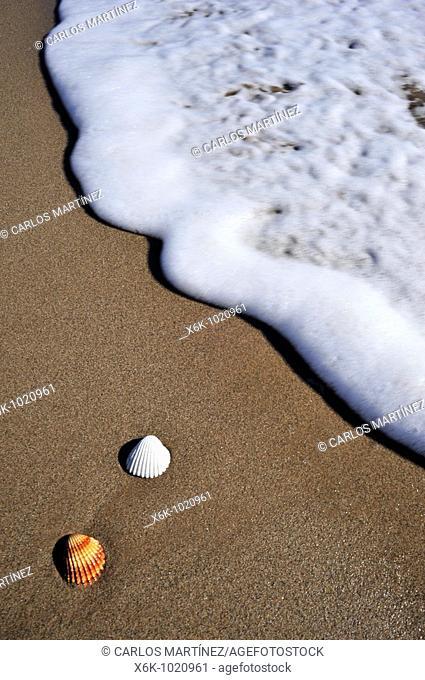 Conchas en la orilla de la playa de Castelldefels, Baix Llobregat, Provincia de Barcelona, Catalunya, España